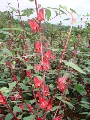 rosella merah