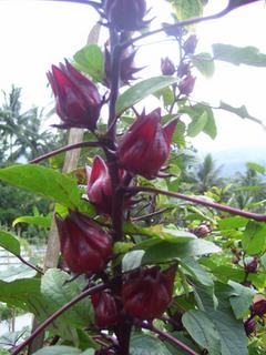 rosella-ungu